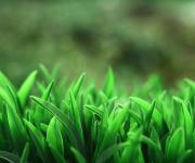 春天的新芽.绿草
